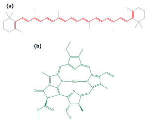 the molecular structure of beta carotene and chlorophyll