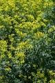 CF46W7 Common or Garden Rue, Ruta graveolens, Rutaceae. Aka Herb of Grace, Herbygrass, Meadow Rue, Ruda, Rue, Weinkraut.