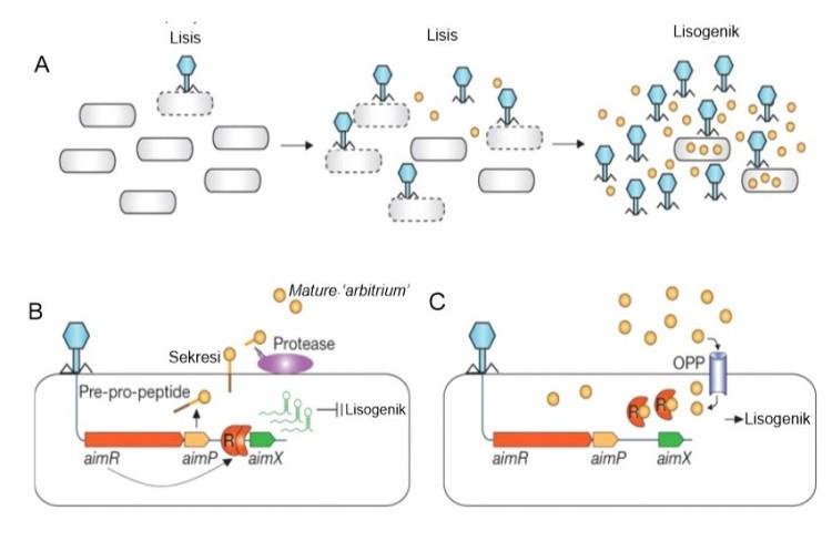 diagram-lisis-lisogenik