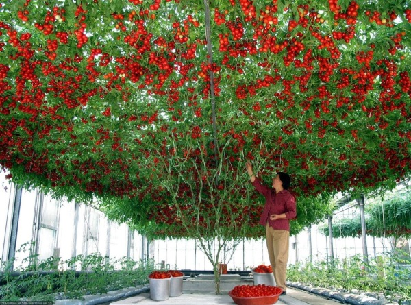 red_parand tomatoplanting